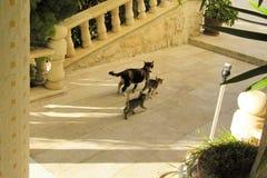 跑远离阳台的人的阿拉伯猫家庭在一好日子 免版税图库摄影