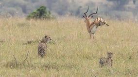 跑远离两在高草的偷偷靠近的猎豹的公飞羚 库存照片