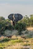 跑远离大象的两幼狮 免版税库存图片