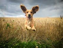 跑通过一块麦田的金黄猎犬狗 库存照片
