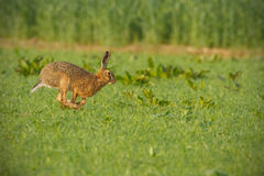 跑通过豪华的绿色领域的共同的棕色野兔 免版税图库摄影