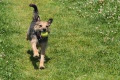 跑通过与黄色网球的领域的狗 免版税库存图片