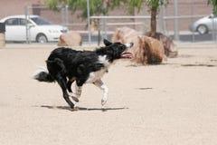 跑通过公园的博德牧羊犬 免版税库存图片