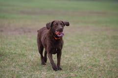 跑通过公园的猎犬 免版税图库摄影