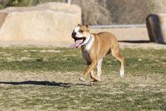 跑通过公园的红色Pitbull 免版税库存照片