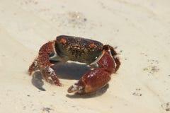 跑通过印度洋的沙子的螃蟹迪亚尼海滩的在肯尼亚 库存照片