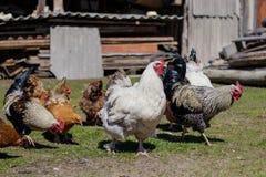 跑通过围场的五颜六色的雄鸡 谁是第一 库存照片