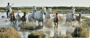 跑通过在日落光的水的白马牧群  图库摄影