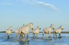 跑通过在日落光的水的白马牧群  免版税库存照片