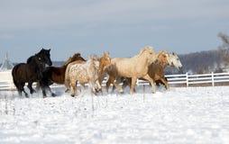 跑通过多雪的领域疾驰的马牧群  免版税图库摄影