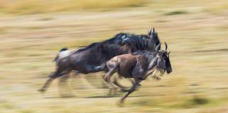跑通过大草原的角马 巨大迁移 肯尼亚 坦桑尼亚 马塞人玛拉国家公园 行动作用 免版税库存图片