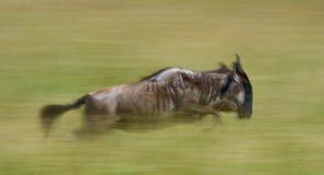 跑通过大草原的角马 巨大迁移 肯尼亚 坦桑尼亚 马塞人玛拉国家公园 行动作用 免版税库存照片