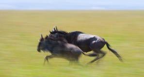 跑通过大草原的角马 巨大迁移 肯尼亚 坦桑尼亚 马塞人玛拉国家公园 行动作用 库存照片