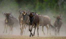 跑通过大草原的角马 巨大迁移 肯尼亚 坦桑尼亚 马塞人玛拉国家公园 图库摄影
