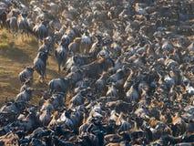 跑通过大草原的角马 巨大迁移 肯尼亚 坦桑尼亚 马塞人玛拉国家公园 库存照片