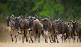 跑通过大草原的角马 巨大迁移 肯尼亚 坦桑尼亚 马塞人玛拉国家公园 免版税库存图片