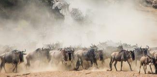 跑通过大草原的角马 巨大迁移 肯尼亚 坦桑尼亚 马塞人玛拉国家公园 免版税库存照片