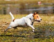 跑通过春天沼泽的湿,蓬松和脏狗 库存照片