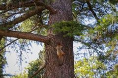 跑通过杉木的灰鼠 免版税图库摄影