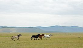 跑通过牧场的蒙古马 图库摄影