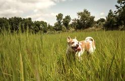 跑通过草的奇瓦瓦狗 库存照片