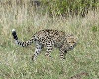 跑通过草的幼小猎豹特写镜头sideview今后看 图库摄影