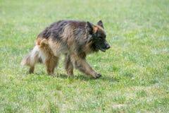 跑通过草的德国牧羊犬 免版税图库摄影