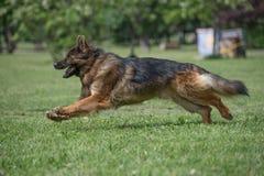跑通过草的德国牧羊犬 免版税库存图片