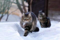 跑通过雪的两只猫 库存照片