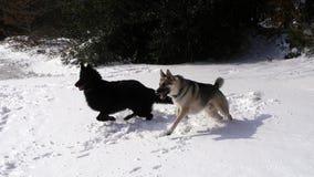 跑通过雪的两条大德国牧羊犬狗 免版税库存图片