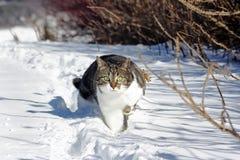 跑通过雪的小的猫 库存图片