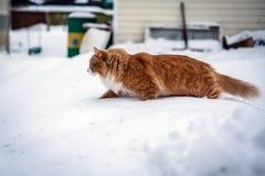 跑通过雪的红色猫 免版税库存照片