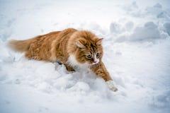 跑通过雪的红色猫 库存照片