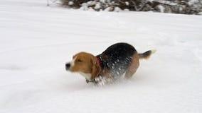 跑通过高雪的小猎犬狗在冬天森林里 股票录像