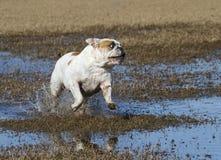 跑通过水坑的白色牛头犬 库存照片