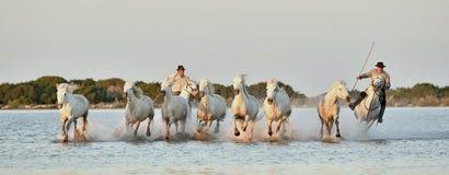跑通过水的白色Camargue马入侵者和牧群  免版税库存图片