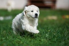 跑金毛猎犬的小狗户外 免版税库存图片