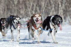 跑阿拉斯加的拉雪橇狗队 堪察加拉雪橇狗赛跑Beringia,俄罗斯 库存照片
