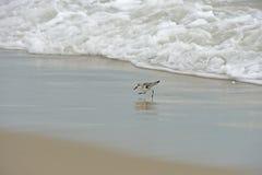 跑从海浪的被察觉的矶鹞 库存照片