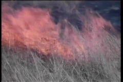 跑从火的羚羊在非洲 影视素材