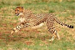 跑6的猎豹 免版税图库摄影