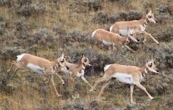 跑1的羚羊 免版税库存图片
