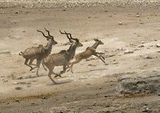 跑从waterhole的更加伟大的Kudu 免版税库存照片