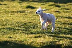 跑Herdwick的羊羔在阳光下 免版税库存照片