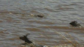 跟踪攻击和杀害一匹幼小角马的一条大鳄鱼的射击穿过玛拉河 股票录像