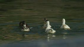 跟踪鸭子群射击游泳和吃海藻的在奥赫里德湖 股票录像
