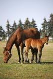 跟随她的母亲的小的马驹 免版税库存照片