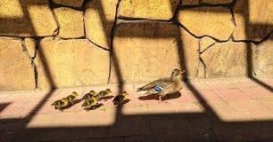 跟随妈妈爪子的布朗鸭子 免版税库存图片