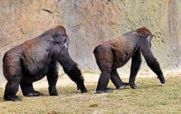 跟随母低地大猩猩的男性 免版税库存照片