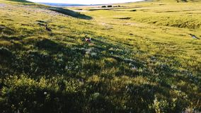 跟随野生鹿的寄生虫照相机任意跑在简单的领域庄严多小山草原风景在一个国家公园 影视素材